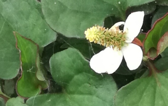 近所に、スゴい花が自生していた